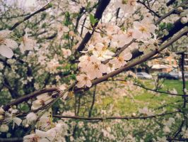 Cherry Blossoms 02 by cosplay33