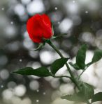 A Winter Rose II by theresahelmer