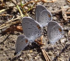 Eastern-Tailed Blue Butterfly by captpackrat