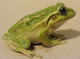 frog stock 163 by hatestock