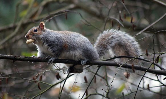 Squirrel by Mearnzy