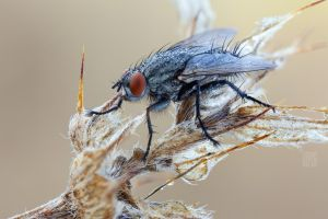 a Flesh fly by zgrkrmblr