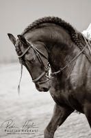 Friesian II by Colourize