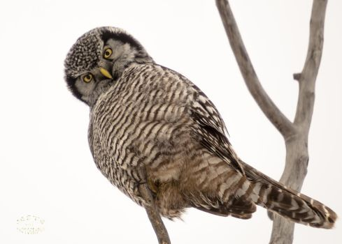 Northern hawk-owl - Hey There by JestePhotography