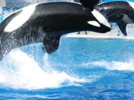 Killer Whales by apoclypse90210