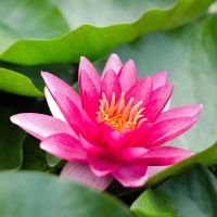 Water Lily by roarbinson
