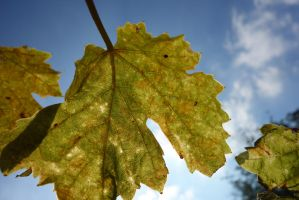 Leaves in the sun by LesleyHammond