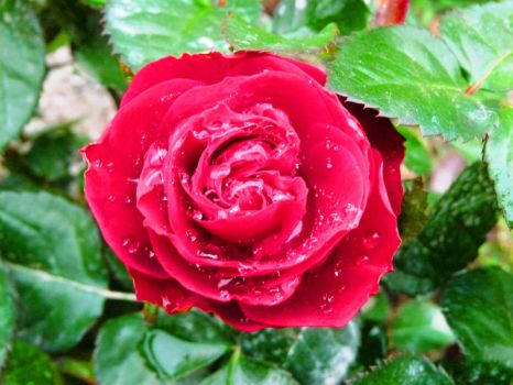 Water drops on the rose by Ankelwar