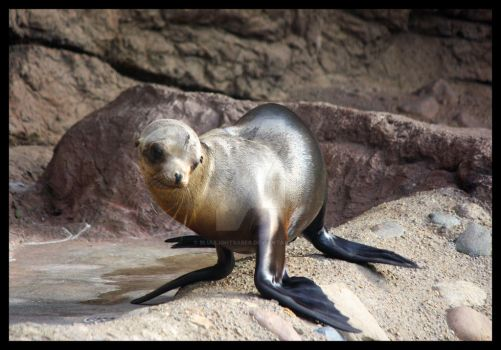 Baby California Sea Lion by BluuLightsaber