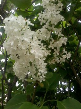 white lilac by Citaar