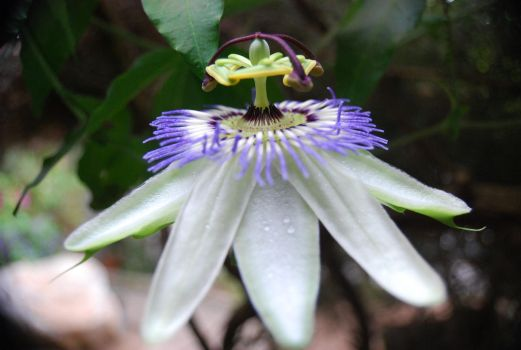 Passion Flower by bloodynuckles