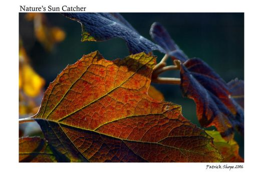 Natures Sun Catcher by pshope