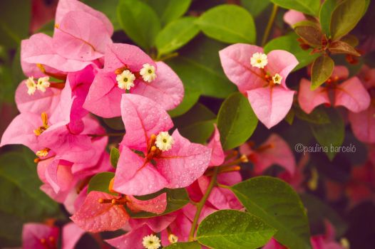 Pink Bougainvillea by Hyb666