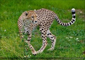 Cheetah 0058s by Haywood-Photography