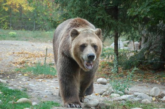 grizzly bear 0282 by stocklove
