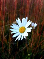 All alone my poor daisy by hexihash