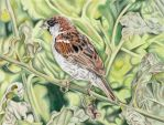 Sparrow - colored pencil drawing by kad-portraits