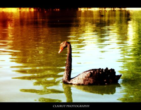 Swan by ClairutPhotography