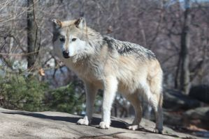 Mexican Wolf Stock 33 by HOTNStock