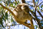 Koala2 - Great Ocean Road, Vic by ebbenjay