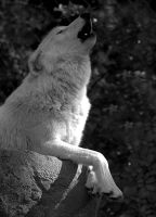 Howl of a White Wolf by Jackal7x