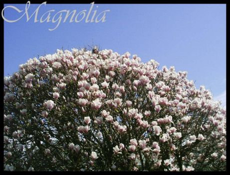 Magnolia by angelflames