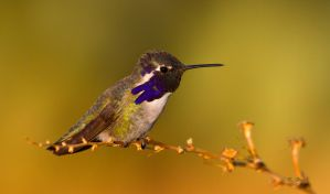Sunrise Hummingbird by Grouper