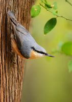Nuthatch by corsuse