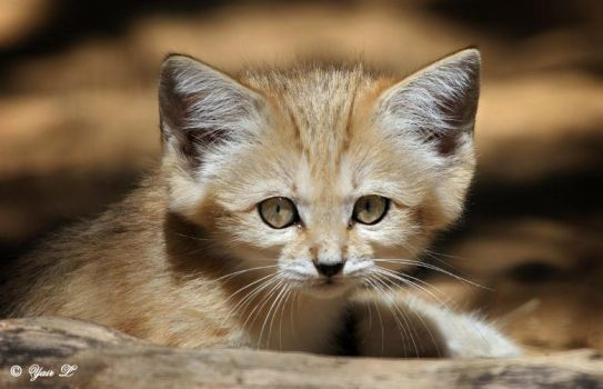 sand cat by Yair-Leibovich