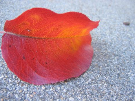Red Leaf by aelthwyn