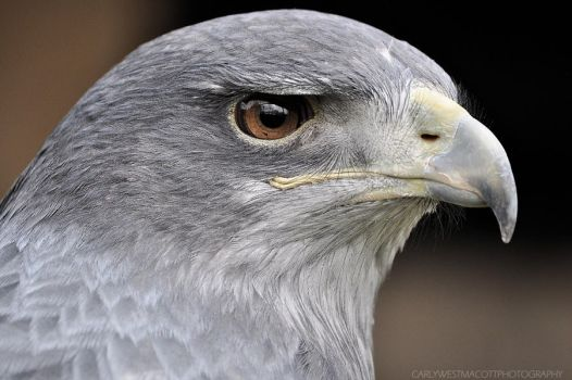 Buzzard Eagle. (close up) by carlywestmacott