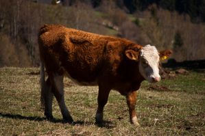 Cow stock by cosboom