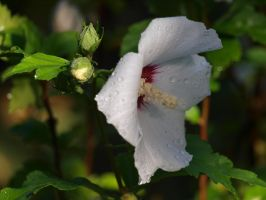 Rose of Sharon Stock 08 by botanystock