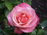 Pink Rose 3 by Gatesigirl