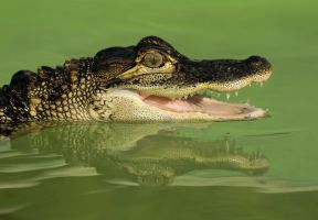 Mississippi alligator by AngiWallace