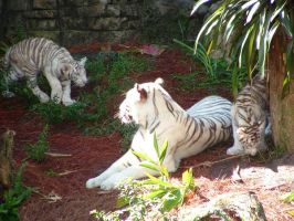 white tigers by XblackholeX
