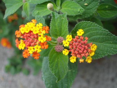Wild Lantana by merinaux