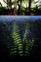 Ferns+Bluebells - Scotland by Coigach