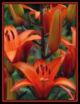 lively lilies by ariseandrejoice
