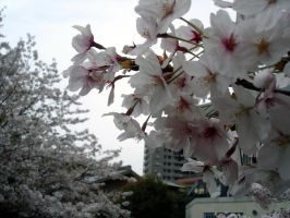 Chikushino Blossoms by roquelaure
