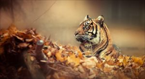 Autumn Tiger by RemusSirion