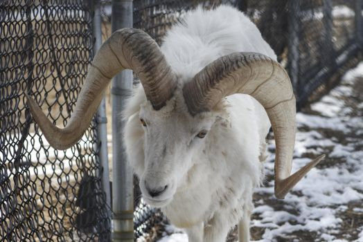 Dall Sheep 3 by CastleGraphics