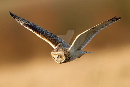 Searching - Short-eared Owl by Jamie-MacArthur