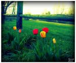 Tulips by A-Negative-Blood