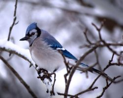 Blue Jay 1 by caillteone