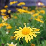 Yellow Flowers bring Sunshine to your Spring by Egil21
