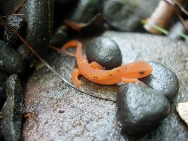 Red Spotted Newt by JPizza
