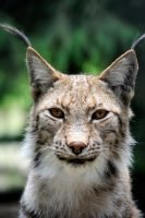 Eye Contact with Lynx by Manu34