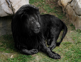 Black (Melanistic) Lion by PAulie-SVK
