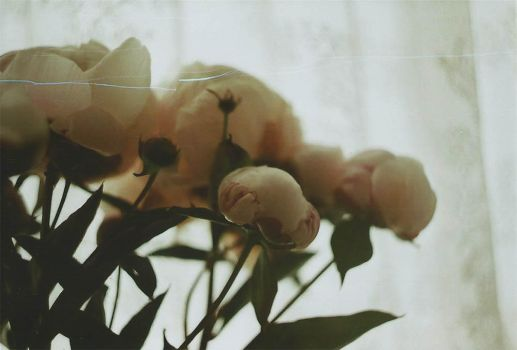 Peonies by anotherreverie